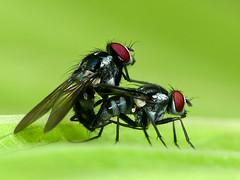 Flies mating (Eerika Schulz) Tags: fliege fliegen fly flies mating eerika schulz