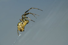 I'm walking in the air (Mark Wasteney) Tags: ha happyarachtober 12th spider web arachnid macro closeup