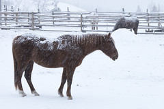 Big Bar Ranch 2016 (Thomas Rousselot) Tags: horse horses bigbarranch explorebc winter snow neige chevaux cheval hiver