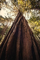 DSC_4859_1 (Ramiro Marquez) Tags: muirwoods sanfrancisco california trees tree forest woods redwood nature