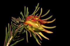 Darwinia masonii (andreas lambrianides) Tags: darwiniamasonii myrtaceae australianflora australiannativeplants redflowers threatenedspecies westernaustralia