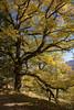 Le grand chêne (mrieffly) Tags: automne canoneos50d chêne arbre hautesvosges vosges