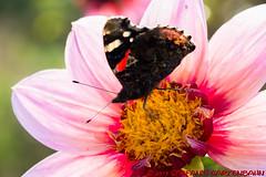 Rundgang auf der IGA Berlin (Stefan's Gartenbahn) Tags: berlin iga 2017 garten blume blumen blüte blüten biene schmetterling butterfly tagpfauenauge pflanze pflanzen dahlien brunnen springbrunnen