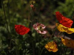 Addicted to poppies (Snorkle-suz) Tags: poppies flowers flora plants nature colours colors beauty light dof esplanade manawatu aotearoa newzealand nz canoneos600d canoneosrebelt3i canoneoskissx5 helios44mf258mmlens bokeh helios44m helios helios44mlens