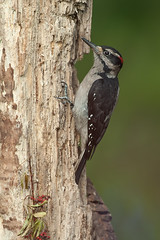 Hairy Woodpecker (Martin Dollenkamp) Tags: vancouverisland birds nature woodpecker hairy hairywoodpecker britishcolumbia picoidesvillosus canada