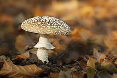 Panteramaniet - Clingendael (mariandeneijs) Tags: paddenstoel paddestoel mushroom fungi toadstool bos clingendael landgoedclingendael sgravenhage amanitapantherina amanita amaniet panteramaniet