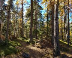 Herbstwald (FRAMA-Photo) Tags: graubünden schweiz swiss albulapass stmoritz herbst herbstfarben herbstlich bunt landschaft natur sunny sonnig nature landscape autum fall lerche gelbelerche berge mountains