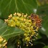 Bee on ivy flowers (stanzebla) Tags: bees bienen macro ivyflowers hederahelix efeublüten lierre