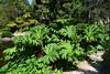 Gunnera manicata (dracophylla) Tags: royaltasmanianbotanicalgardens lilypond giantrhubabrb gunneraceae gunneramanicata