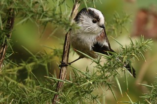 The long-tailed tit (Aegithalos caudatus) Dungeness RSPB