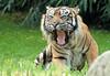 sumatran tiger Beludru Krefeld BB2A2156 (j.a.kok) Tags: tijger tiger sumatraansetijger sumatrantiger kat cat animal mammal zoogdier dier asia azie krefeld beludru pantheratigrissumatrae