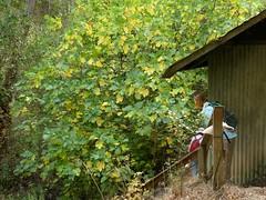 Ficus carica, EDIBLE FIG. (openspacer) Tags: fallcolor ficus fig jasperridgebiologicalpreserve jrbp moraceae nonnative tree
