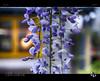 Wisteria II (tomraven) Tags: flower wisteria flowermacro macro bokeh light garden tomraven aravenimage q42017 sony a58