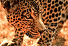 This Leopard is treated in a shelter for wild animals in South Africa (rvjak) Tags: afriquedusud leopard shelter d200 nikon south africa wildlife vie sauvage refuge animal felin yellow jaune