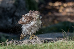 Redtail Hawk (Joe Branco) Tags: branco joe nikond850 nikon redtailhawk joebrancophotography wildlifephotography photoshopcc2018 raptor birds wildlife green