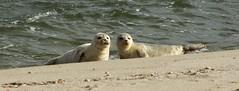 Natur pur. (♥ ♥ ♥ flickrsprotte♥ ♥ ♥) Tags: tiere robben natur strand nordsee sylt ellenbogen