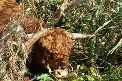 grazing the nature reserve (jehazet) Tags: schotsehooglander stier natuur kropswolderbuitenpolder jehazet grazen grazing