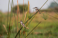 IMG_3475 (jfirmenich) Tags: duba bird