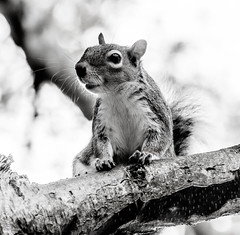 Parkwood squirrel B&W (philbarnes4) Tags: squirrel parkwood rainham kent england branch philbarnes animal rodent dslr nikond5500 wildlife greysquirrel grey
