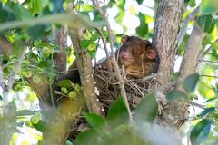 Common Ringtail Possum (petefeats) Tags: australia brisbane commonringtailpossum nature pseudocheirusperegrinus queensland drey nest glochidionferdinandi cheese tree