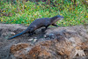 River Otter (fascinationwildlife) Tags: animal mammal wild wildlife nature natur national point reyes seashore river otter fischotter crossing elusive shy early morning usa america california kalifornien coast