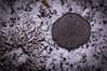 Like a Stain (Keztik) Tags: lichen nature nikon d3200 macro crustose black noir areolate vitellina candelariella foliose placodioid