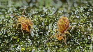 Zwei Dicyrtomina ornata (Kugelspringer) collembola beim Fressen