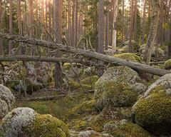 Norra Kvill II (Gustaf_E) Tags: forest höst landscape landskap morgon nationalpark norrakvill pine pines skog småland sverige sweden tall urskog woods