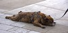 Stretched Out (swong95765) Tags: dog canine animal pet tired sleep snooze resting cute collar leash splayed nap