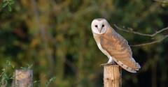 Barn Owl (KHR Images) Tags: barnowl barn owl tytoalba perched goldenhour wild bird birdofprey cambridgeshire fens eastanglia wildlife nature nikon d500 kevinrobson khrimages