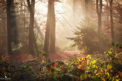 Light In The Forest (pbmultimedia5) Tags: light autumn green forest switzerland tree mist enchanted nature winter muenchenstein pbmultimedia
