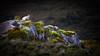 Basking In Sunshine - 1514-_MG_1043 (Robert Rath) Tags: ireland mollsgap ringofkerry kerry landscape sheep animals portrait travel green basking sunshine