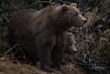 A Mother's Love (wyrickodiak_9) Tags: kodiak alaska brown bear grizzly ursus mammal wildlife island fishing cubs