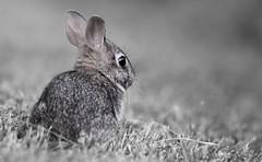 Bunny Cutie (imageClear) Tags: bunny rabbit young cute innocent nature wildlife animal aperture nikon d500 80400mm imageclear flickr photostream