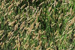 J20171002-0049—Bouteloua gracilis—RPBG—DxO (John Rusk) Tags: dxofujivelvia50preset taxonomy:kingdom=plantae plantae taxonomy:subkingdom=tracheophyta tracheophyta taxonomy:phylum=magnoliophyta magnoliophyta taxonomy:class=liliopsida liliopsida taxonomy:order=poales poales taxonomy:family=poaceae poaceae taxonomy:genus=bouteloua bouteloua taxonomy:species=gracilis taxonomy:binomial=boutelouagracilis boutelouagracilis navajita boutelougrêle pastonavajita mosquitograss bluegrama taxonomy:common=navajita taxonomy:common=boutelougrêle taxonomy:common=pastonavajita taxonomy:common=mosquitograss taxonomy:common=bluegrama