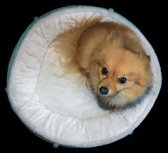 Boo the Pomeranian. (CWhatPhotos) Tags: cwhatphotos clouds cloud sky above skies olympus omd em10 digital camera photographs photograph pics pictures pic picture image images foto fotos photography artistic that have which with contain dog dogs doggy pom pompom pomeranian pet canine sandy sand coloured colored