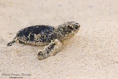 Green Sea Turtle (Tevaironi) Tags: greenseaturtle cheloniamydas ״צב ים ירוק״