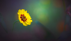 Plains Coreopsis (Dhina A) Tags: plainscoreopsis sony a7rii ilce7rm2 a7r2 mc kaleinar 100mm f28 kaleinar100mmf28 5n m42 nikonf russian ussr soviet 6blades flower