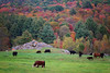 Pumpkin Rock (Boered) Tags: vermont chester farm cows rocks pumpkins peeing