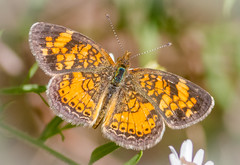 Pearl Crescent Butterfly (tresed47) Tags: 2017 201710oct 20171004extonparkmacro butterflies canon7d chestercounty content crescent extonpark fall folder insects macro october pearlcrescent pennsylvania peterscamera petersphotos places season takenby technical us