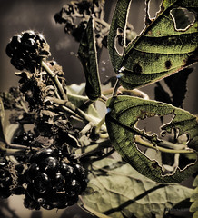 Blackberry season (AJ Mitchell) Tags: blackberry autumn thorn dried bramble coilweave
