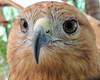 Eagle (markb120) Tags: bird fowl flyer flier plumage feathering feather coverts coat dress beak bill pecker rostrum neb nib eye head animal fauna