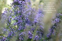 Aster / Autumn daisies (Mah Nava) Tags: aster michaelmasdaisy panicledaster autumndaisies symphyotrichumlanceolatum herbstaster asteraceae herbst autumn