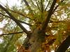 Herbstliche Sumpfzypresse (Jörg Paul Kaspari) Tags: trier autumn herbst fall echte sumpfzypresse taxodiumdistichum mattheiserweiher herbstfärbung krone baumkrone stamm park