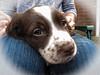 meet Elsie [explored] (carol_malky) Tags: springerspaniel puppy elsie 8weeksold verycute belongstoafriend explored