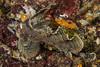 Sailfin Sculpin (Nautichthys oculofasciatus) (jonmcclintock) Tags: underwater sunshinecoast travel britishcolumbia canada adventure scuba diving strongwater