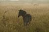 Waiting for her companions..... (cirdantravels (Fons Buts)) Tags: equus quagga zebra zèbre