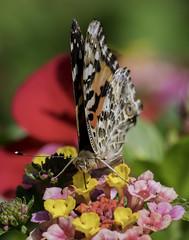 CommonBuckeye_SAF2720-1 (sara97) Tags: junoniacoenia buckeye butterfly commonbuckeye copyright©2017saraannefinke endangered insect missouri outdoors photobysaraannefinke pollinator saintlouis towergrovepark