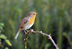 Robin (2)) (Caulker) Tags: bird robin garden canonspark october 2017