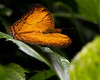 Malay Cruiser (Jen St. Louis) Tags: cambridge ontario canada cambridgebutterflyconservatory butterfly insect macro nikond750 wwwjenstlouisphotographycom malaycruiser nikon2470 jenstlouisphotography